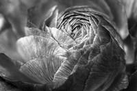 Ranunculus Abstract V BW Fine Art Print