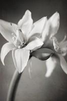 White Amaryllis I Fine Art Print