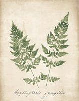 Vintage Ferns VII no Border Fine Art Print