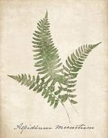Vintage Ferns X no Border Fine Art Print