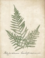 Vintage Ferns XI no Border Framed Print