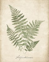 Vintage Ferns IX no Border Framed Print