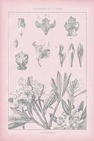 Rose Quartz Rhododendron Fine Art Print