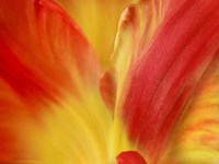 Tulipa Fine Art Print