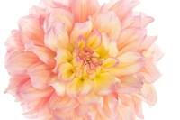 Coral Dahlia Fine Art Print
