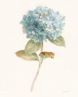 Garden Hydrangea Fine Art Print