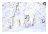 Snow lynx Fine Art Print