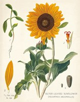 Sunflower Chart on Ivory Fine Art Print