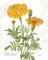 October Marigold on White Fine Art Print