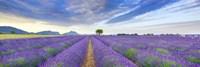 Lavender Field, France Fine Art Print
