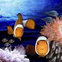 Sea Creatures Clown Fish Fine Art Print