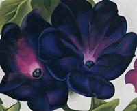 Black and Purple Petunias Framed Print