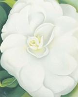 White Camelia Fine Art Print