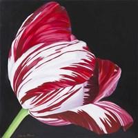 Broken Tulip Fine Art Print