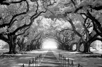 Oak Alley inf CHECK!!!!! Fine Art Print