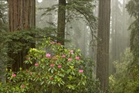 Redwood Fog Rhododendrons Fine Art Print