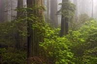 Redwoods Fog Fine Art Print