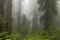 Redwoods NP Fog Fine Art Print