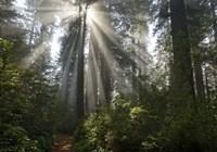 Redwoods NP Ladybird Johnson Lightbeam Fine Art Print