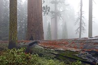 Sequoia Fallen Giant Fine Art Print
