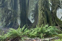 Washington Olympic NP Foggy Ferns Fine Art Print