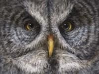 Great Grey Owl Totem Fine Art Print
