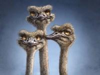 Ostrich Trio Fine Art Print