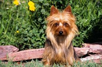 Australian Terrier In Front Of Flowers Fine Art Print