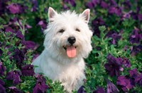 West Highland Terrier Sitting In Petunias Fine Art Print