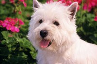 West Highland Terrier Head Shot Fine Art Print
