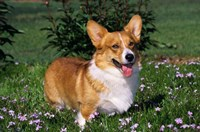 Welsh Pembroke Corgi Sitting In Grass Fine Art Print