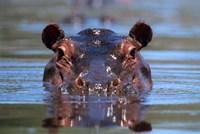 Hippopotamus Amphibius Peering Out From Water Fine Art Print