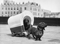 1930s Two Dachshund Dogs Fine Art Print