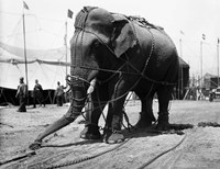 1930s Circus Elephant Draped In Chains Fine Art Print