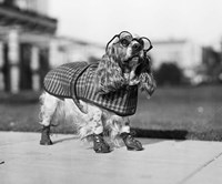 1930s Cocker Spaniel Wearing Glasses Fine Art Print