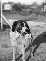 1930s Dog Holding Cat Fine Art Print