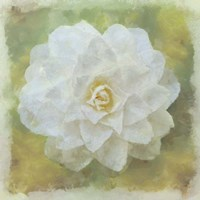 Camelia White Fine Art Print