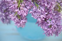 Lilacs in Blue Vase V Fine Art Print