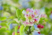 Apple Blossom Fine Art Print