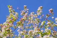 Spring Apple Blossom Fine Art Print