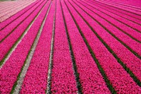 Tulip Field Hot Pink Fine Art Print