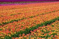 Tulip Field Orange Fine Art Print