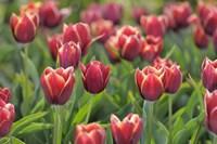Tulip Field Papillon Fine Art Print