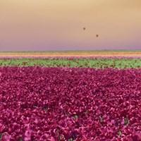 Carmine Tulip Field Fine Art Print