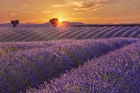Lavender Field at Sunset Fine Art Print