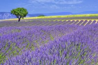 Lavender Fields with Tree Fine Art Print