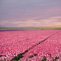 Pink Tulip Fields Fine Art Print