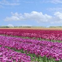 Violet Tulip Fields Fine Art Print