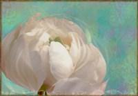 Peony Flower II Framed Print