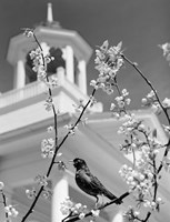 1950s Robin Perched On Blossoming Fine Art Print